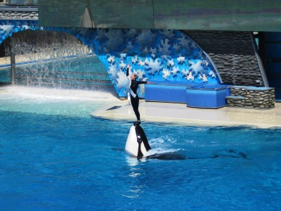 Orca_&_trainer_at_SeaWorld_show