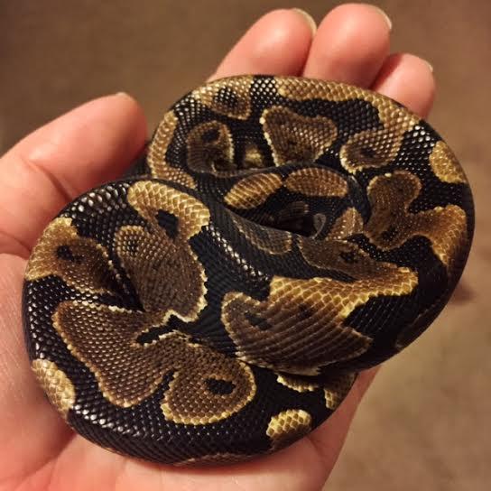 saphira ball python small