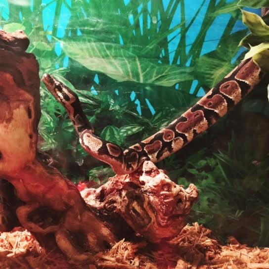 saphira ball python