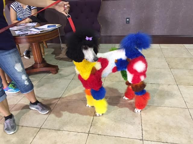 bright colored poodle